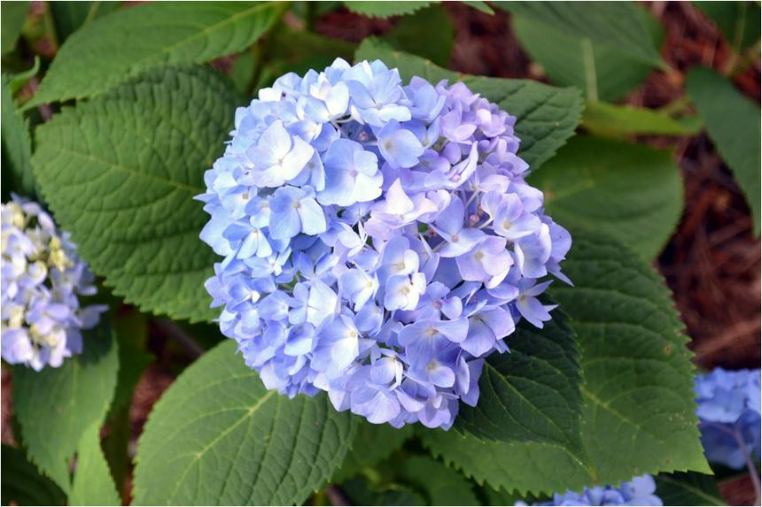 A blue hydrangea with green leaves