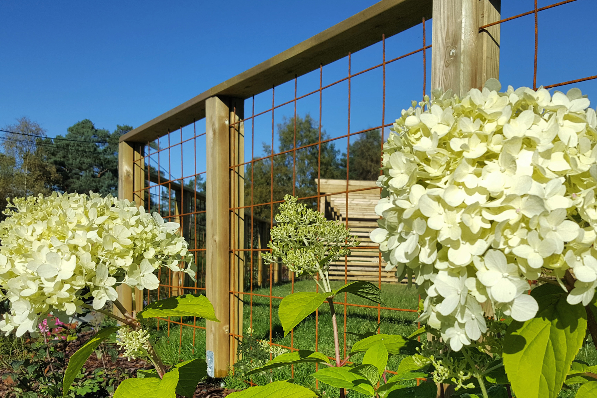 A garden fence with hydrangeas