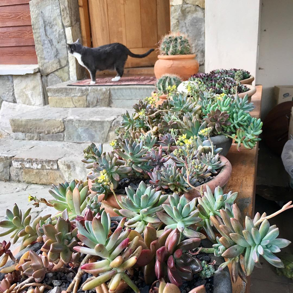 Cat on door step overlooking planter box of succulents