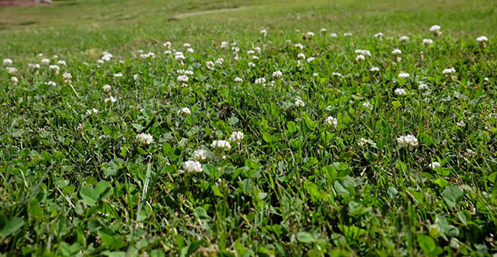 A field of clover offers a lawn alternative to grass