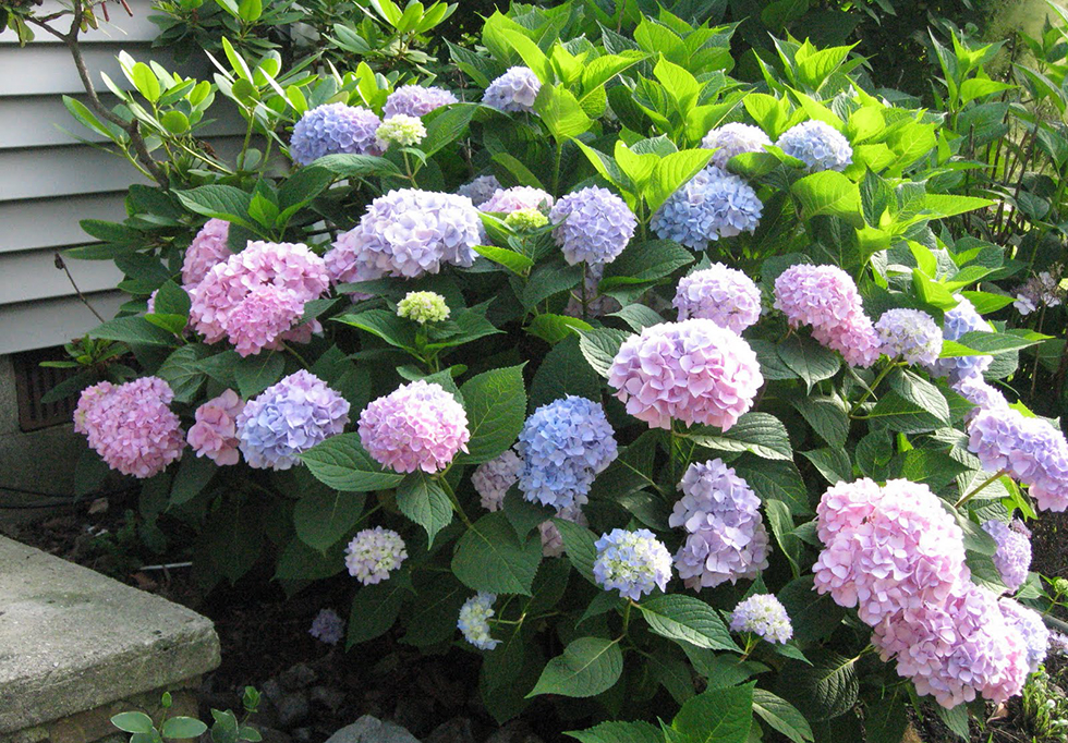top curb appeal plants for along your foundation, Natural flower