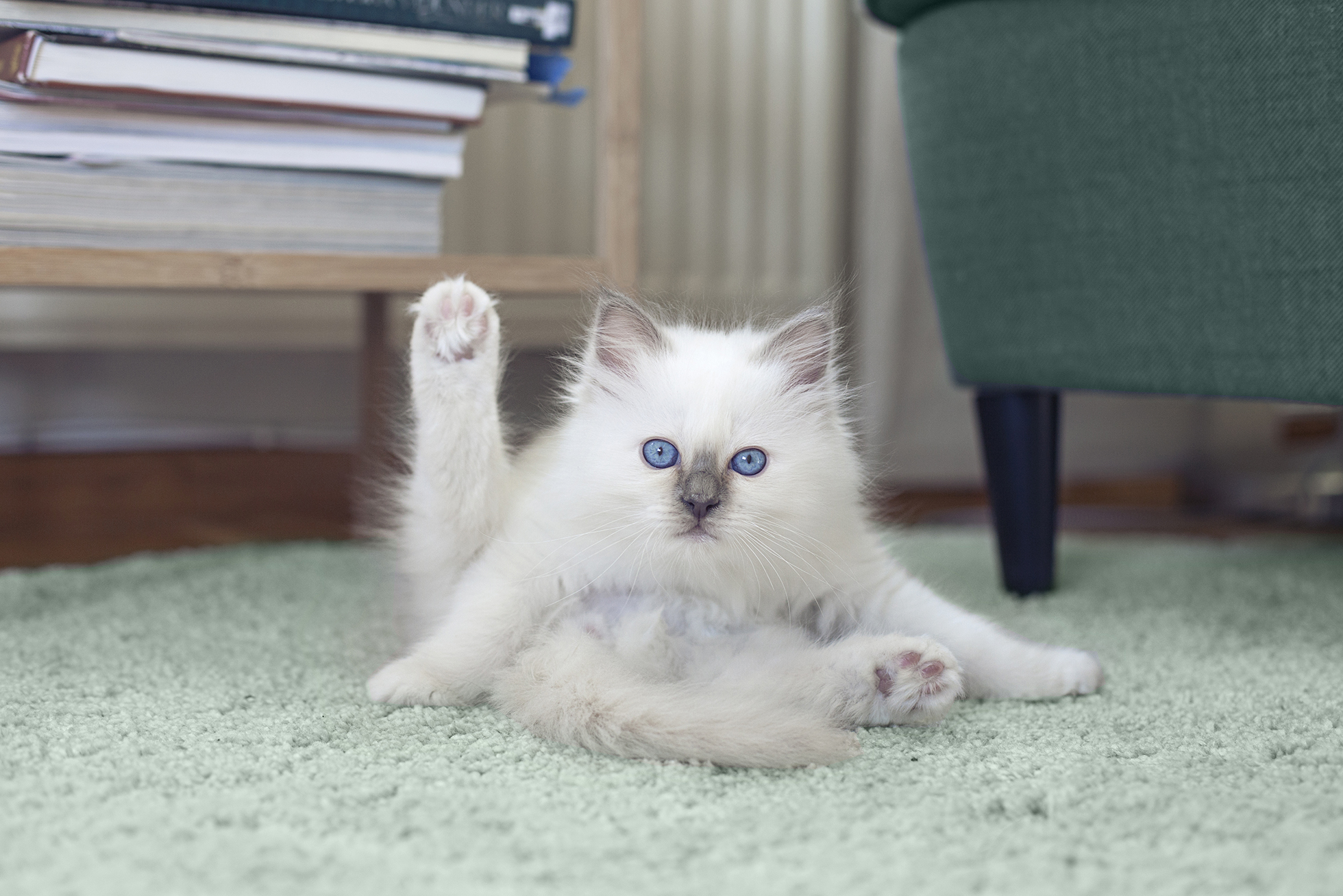 White kitten with blue eyes grooming self on green carpet