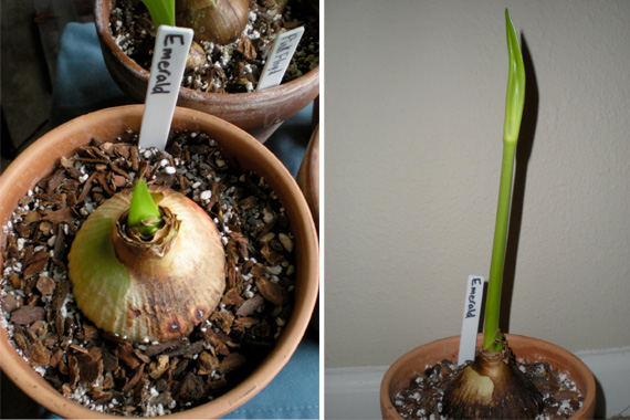 Amaryllis Growing Amaryllis How To Best Grow Amaryllis