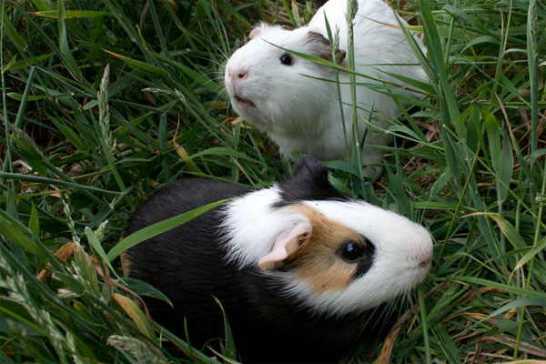 How Many Guinea Pigs Does It Take To Mow A Lawn