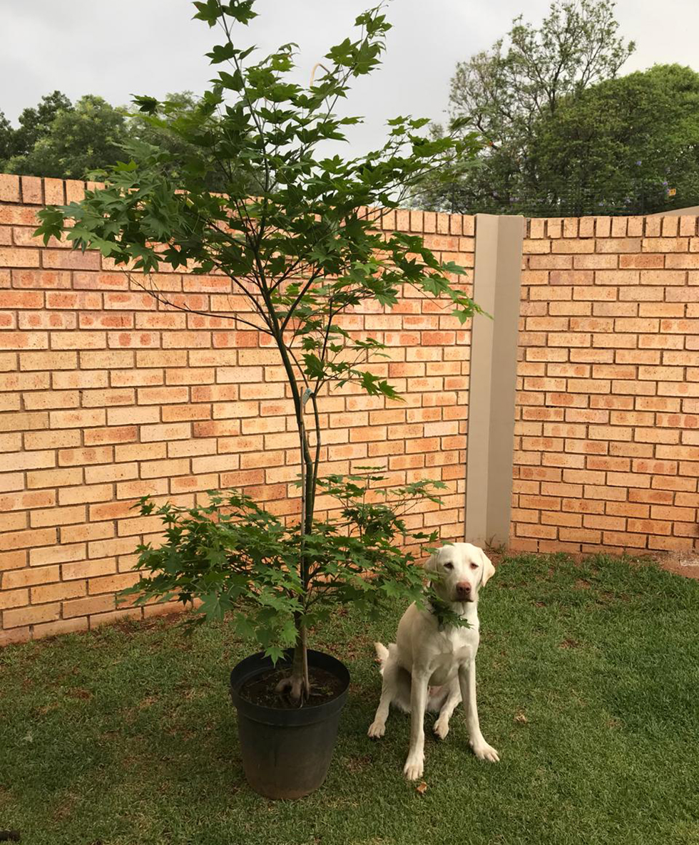 Dog sitting beside large, potted tree against brick wall