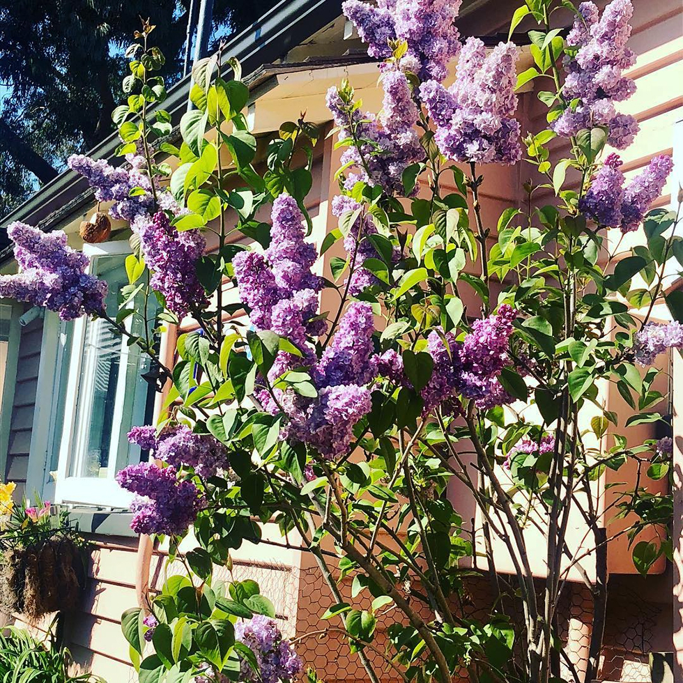Purple lilac bush against orange vinyl siding