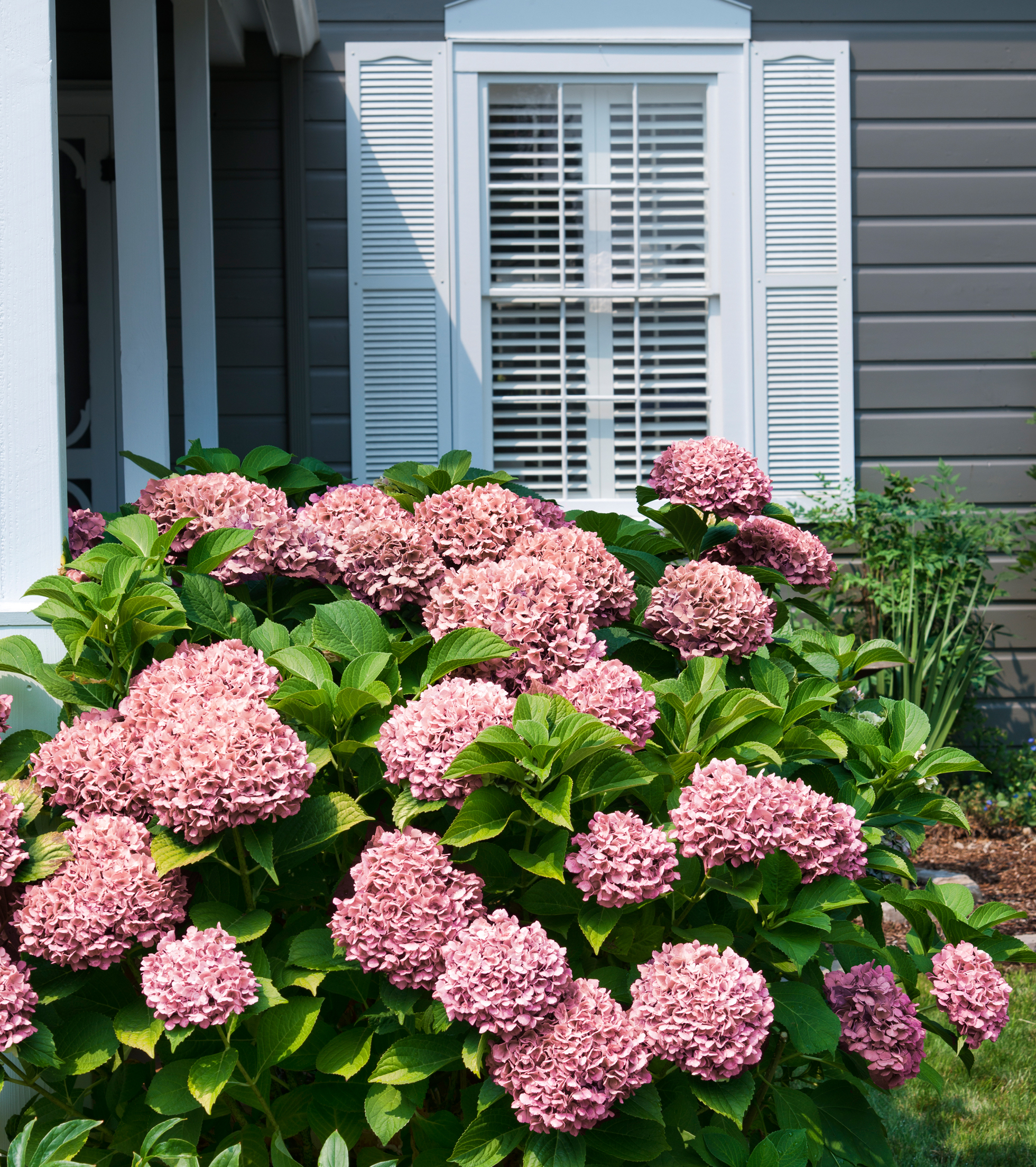 Prevent fires with fire-resistant plants like hydrange