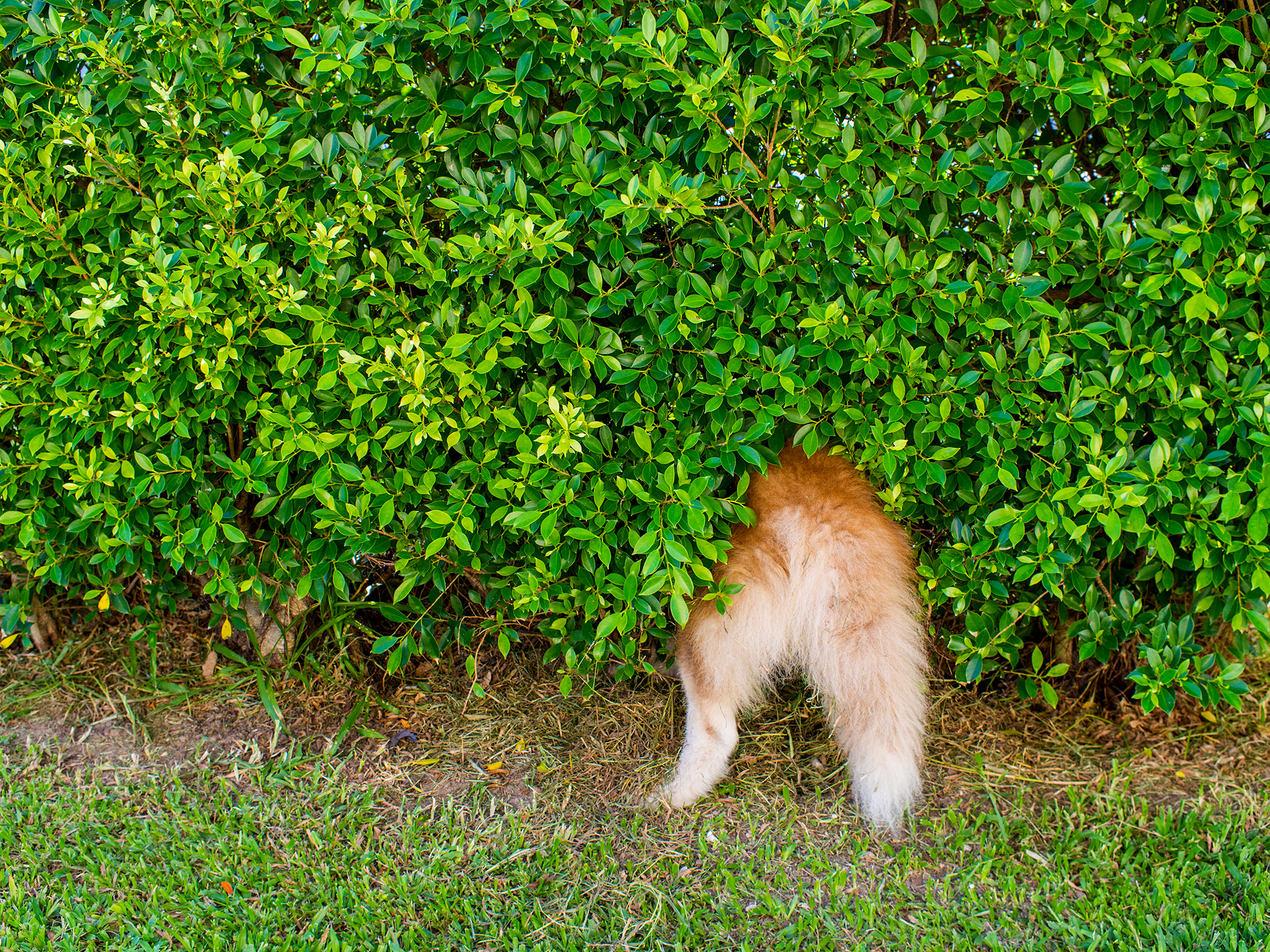 Tail of siberian husky peaking out from wall of bushes
