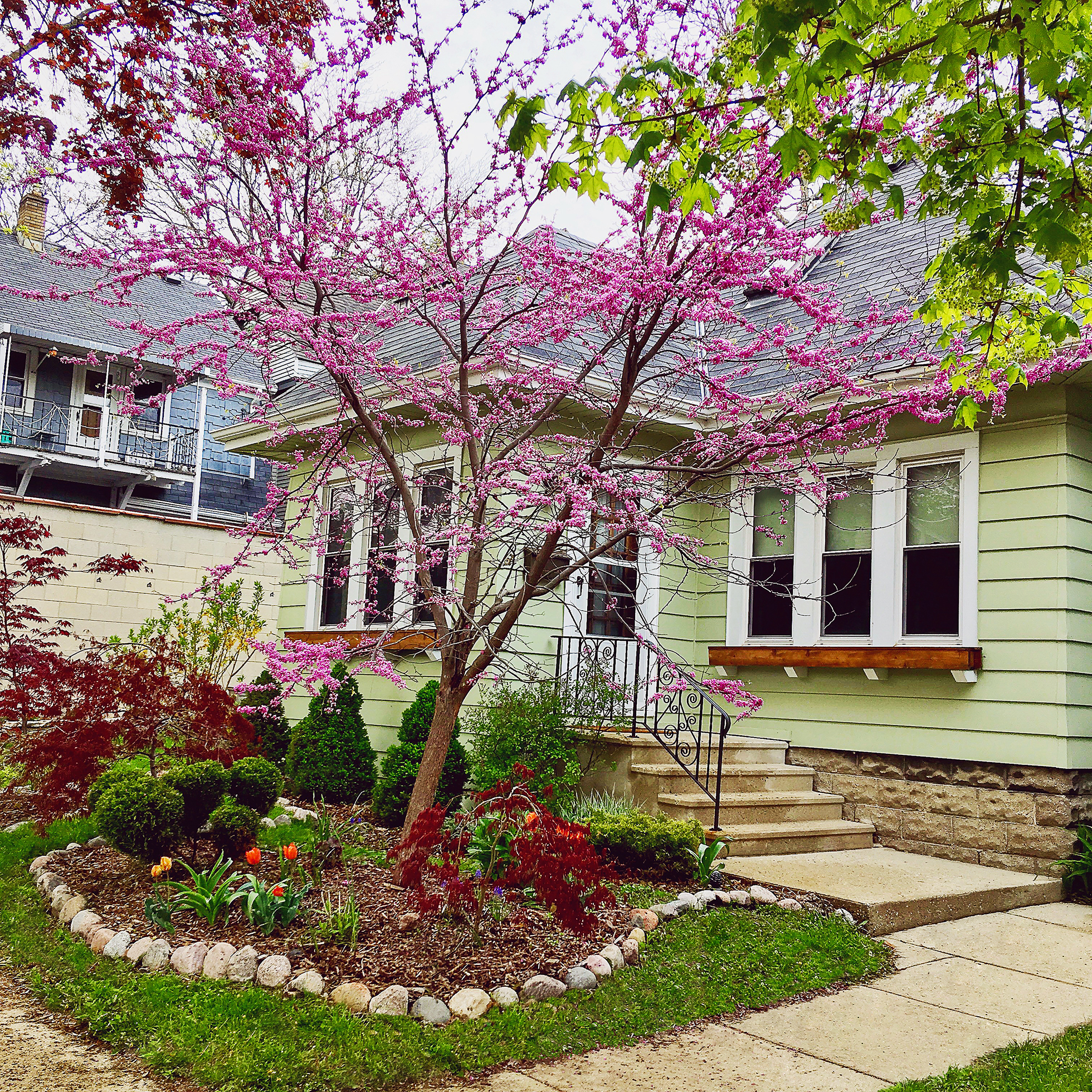 Red bud fernwood tree in front of a green bungalow