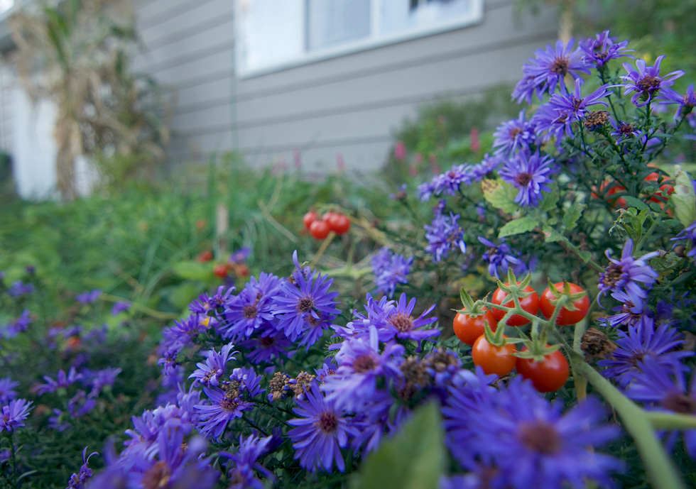 Tomato and aster planted together in a home garden