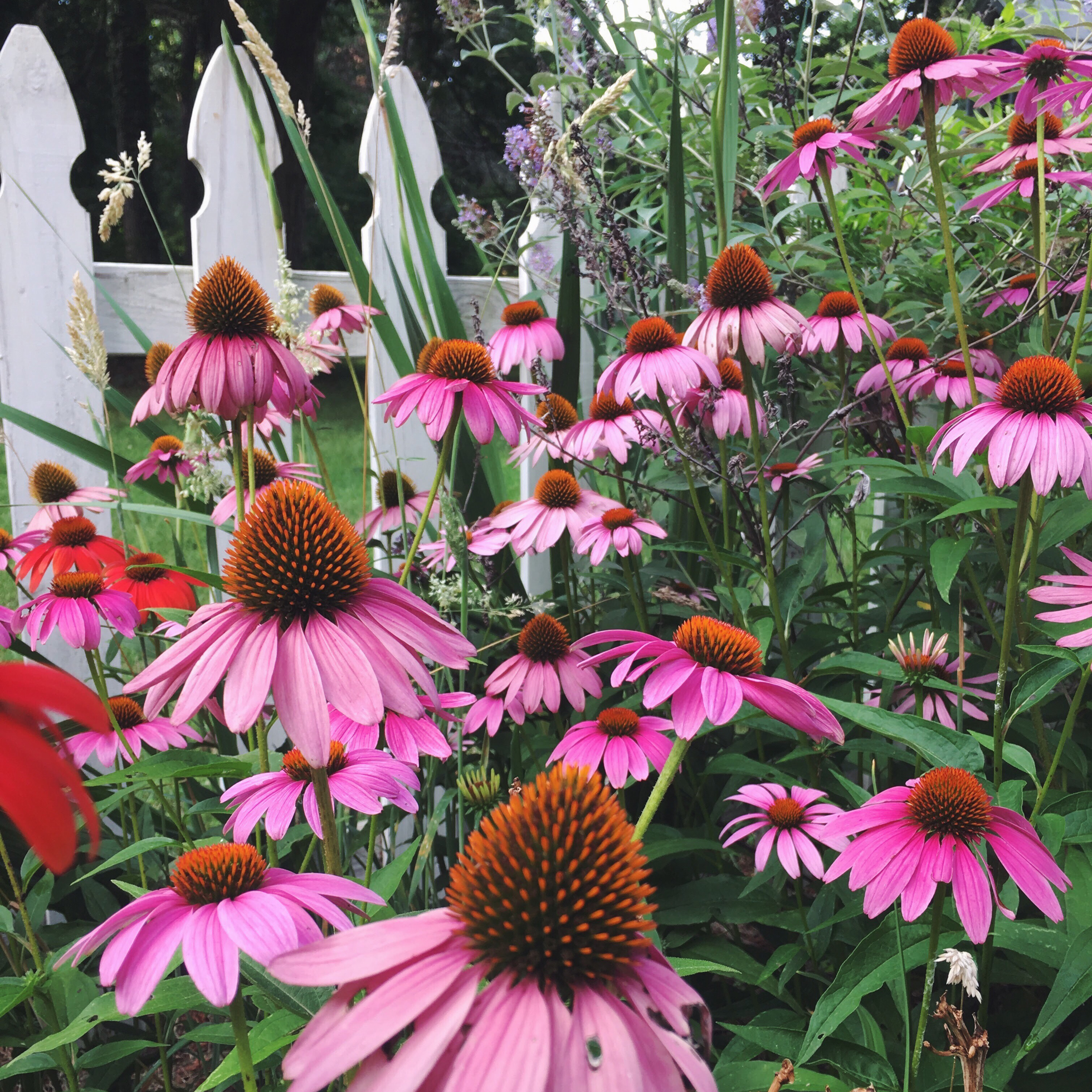 Pink coneflowers in front of a white picket fence