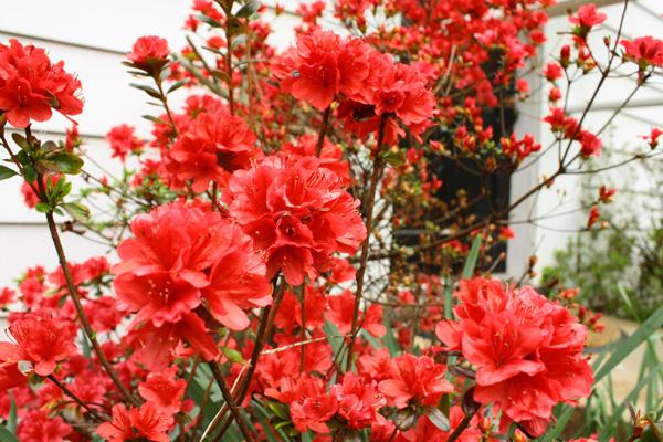 Flowering azaleas in a home's yard