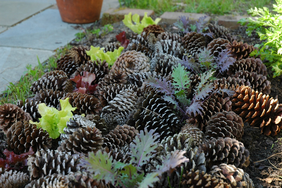 Pine cones in a garden bed