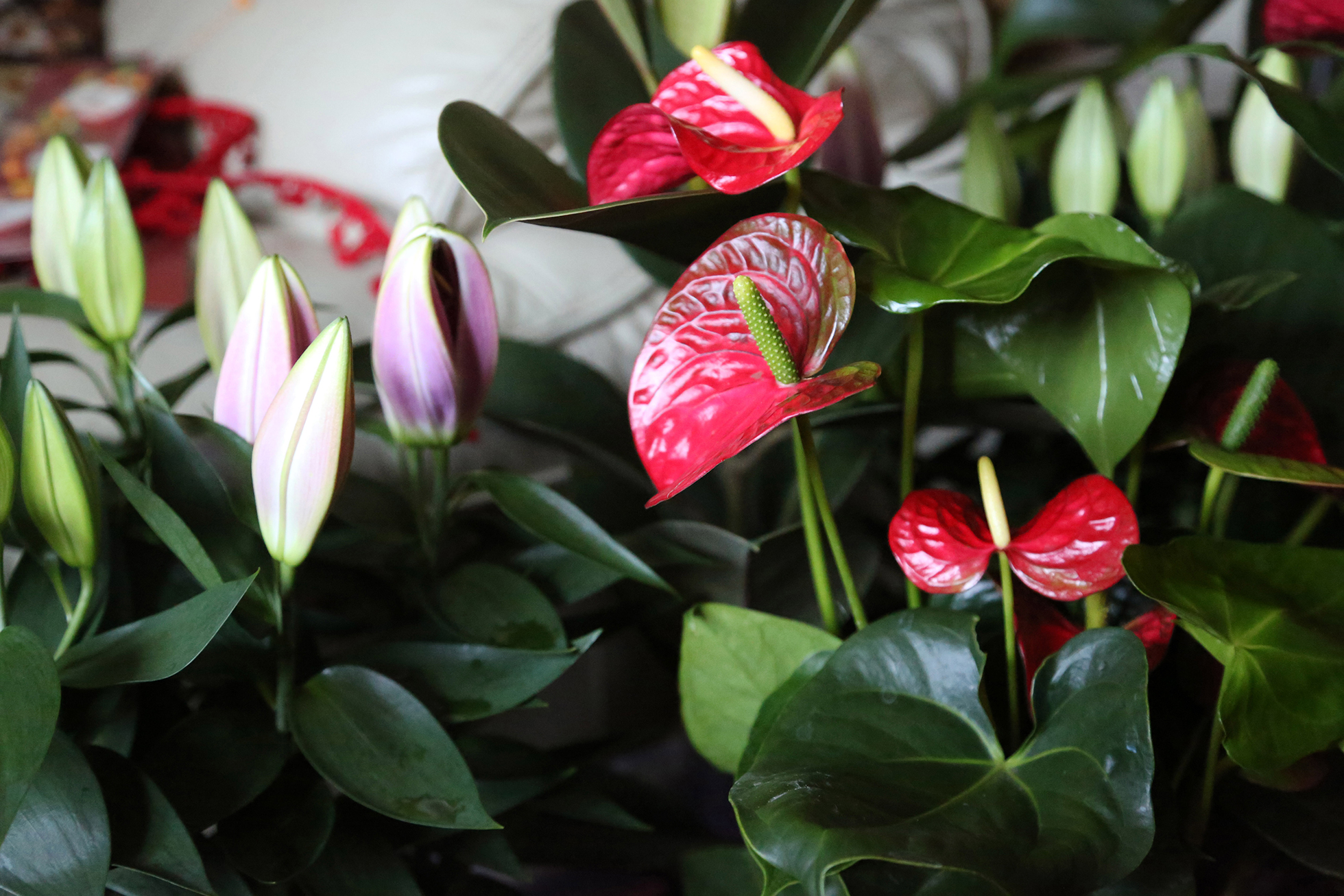 Anthuriums in a home