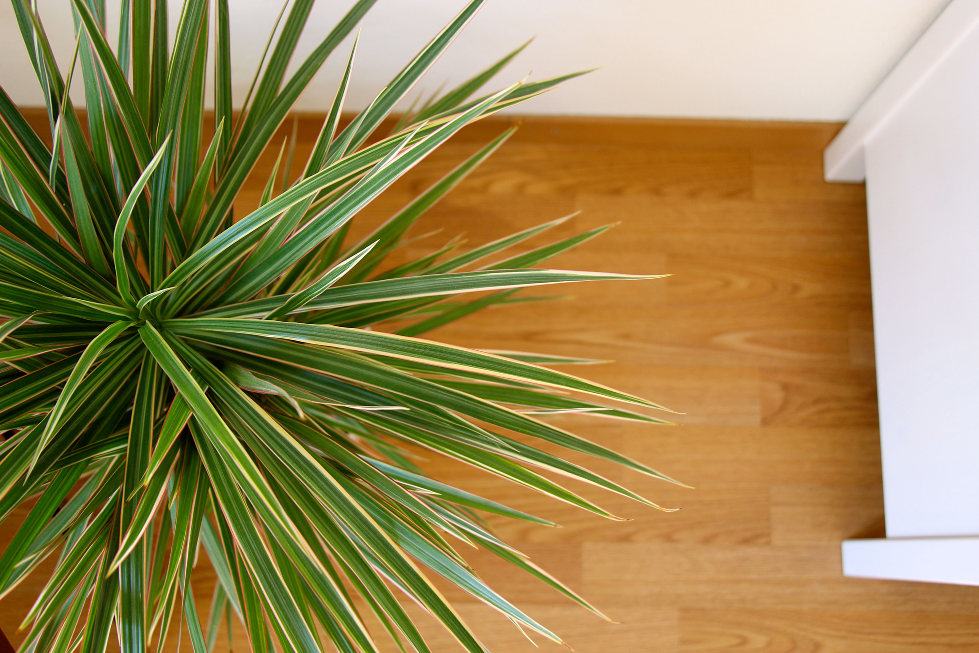 Dracaena plant in a home