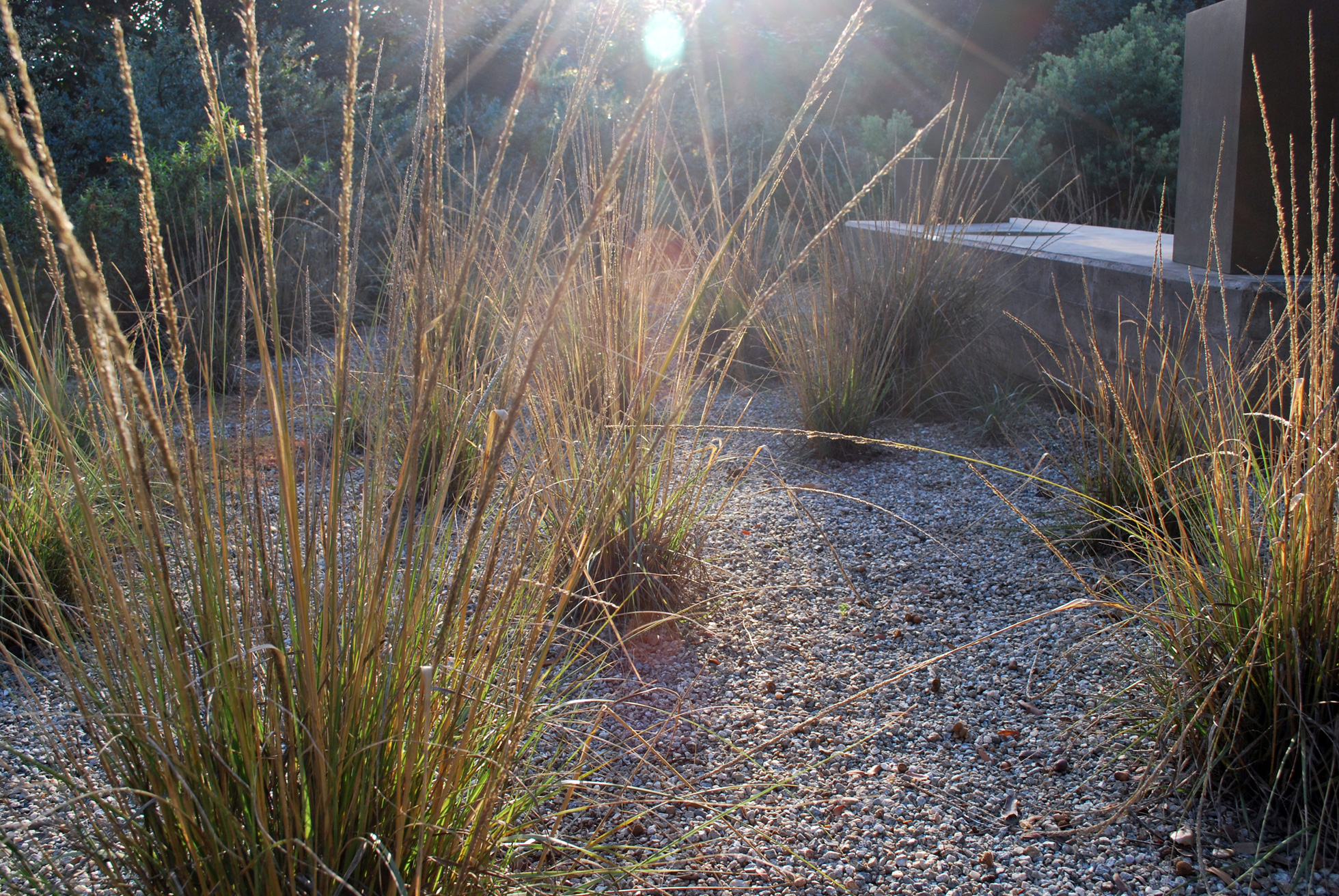 Deer grass in the early morning light