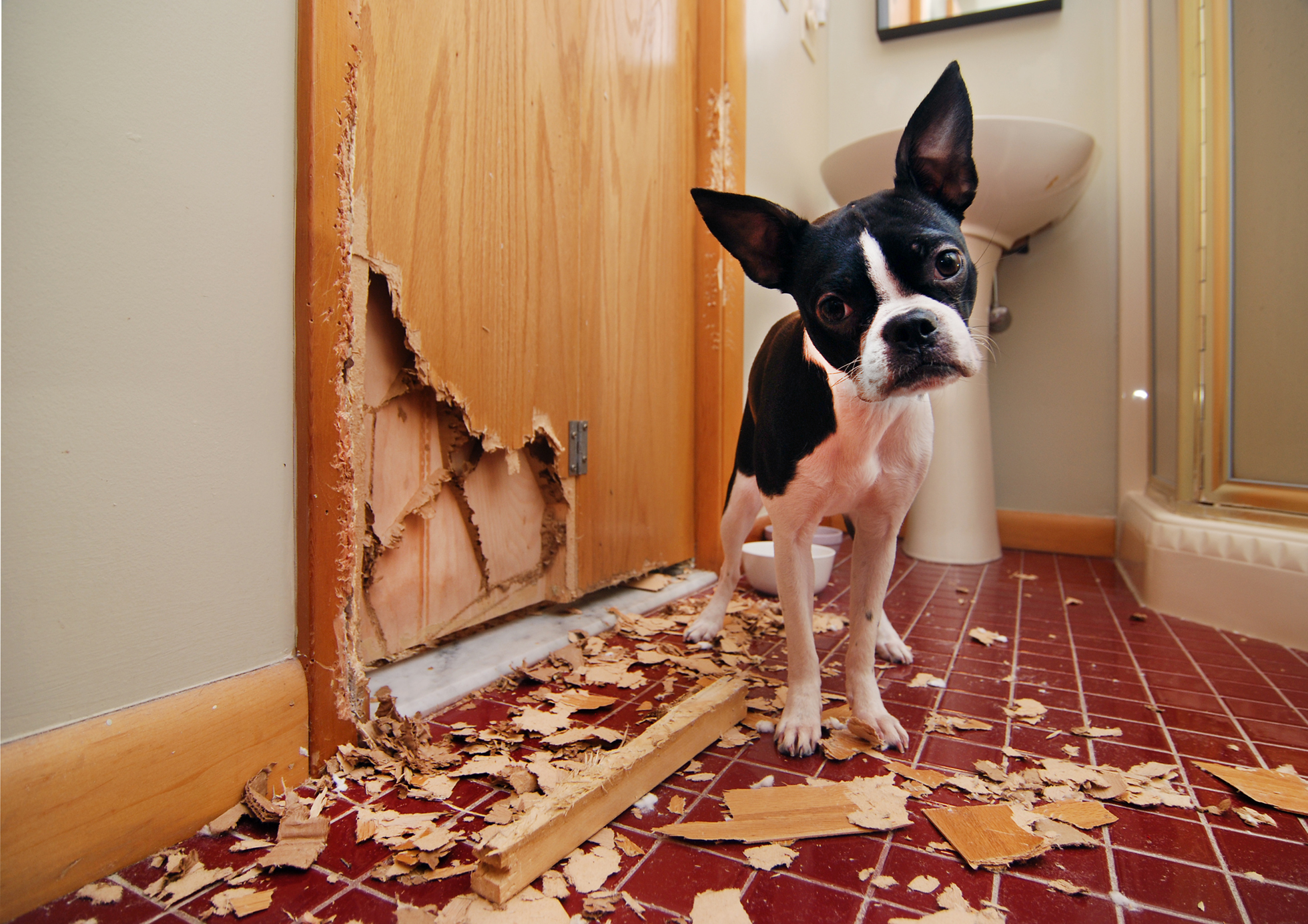 Black and white dog beside chewed up, clawed wooden door