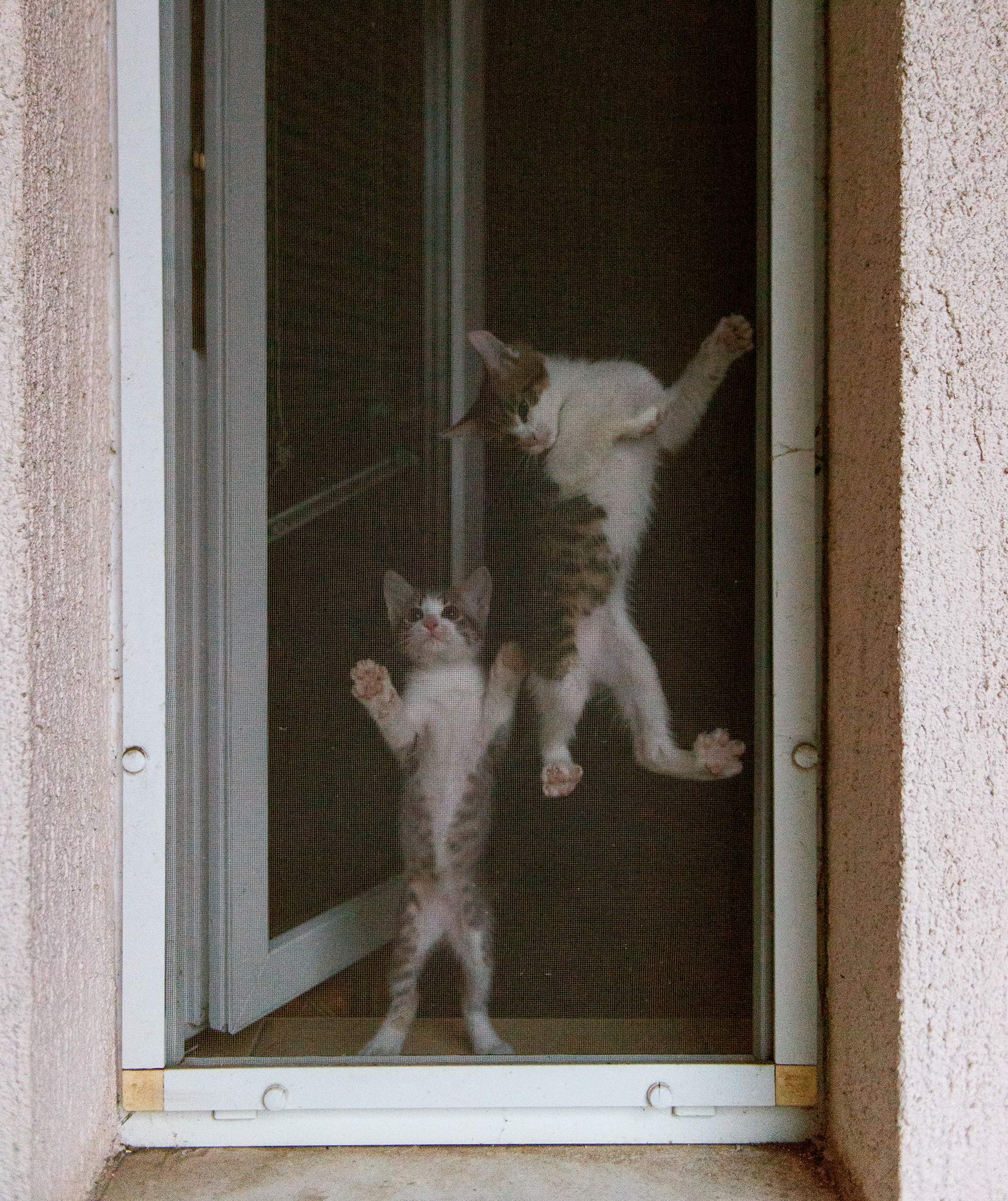 Two gray tabby kittens hanging from screen of open window