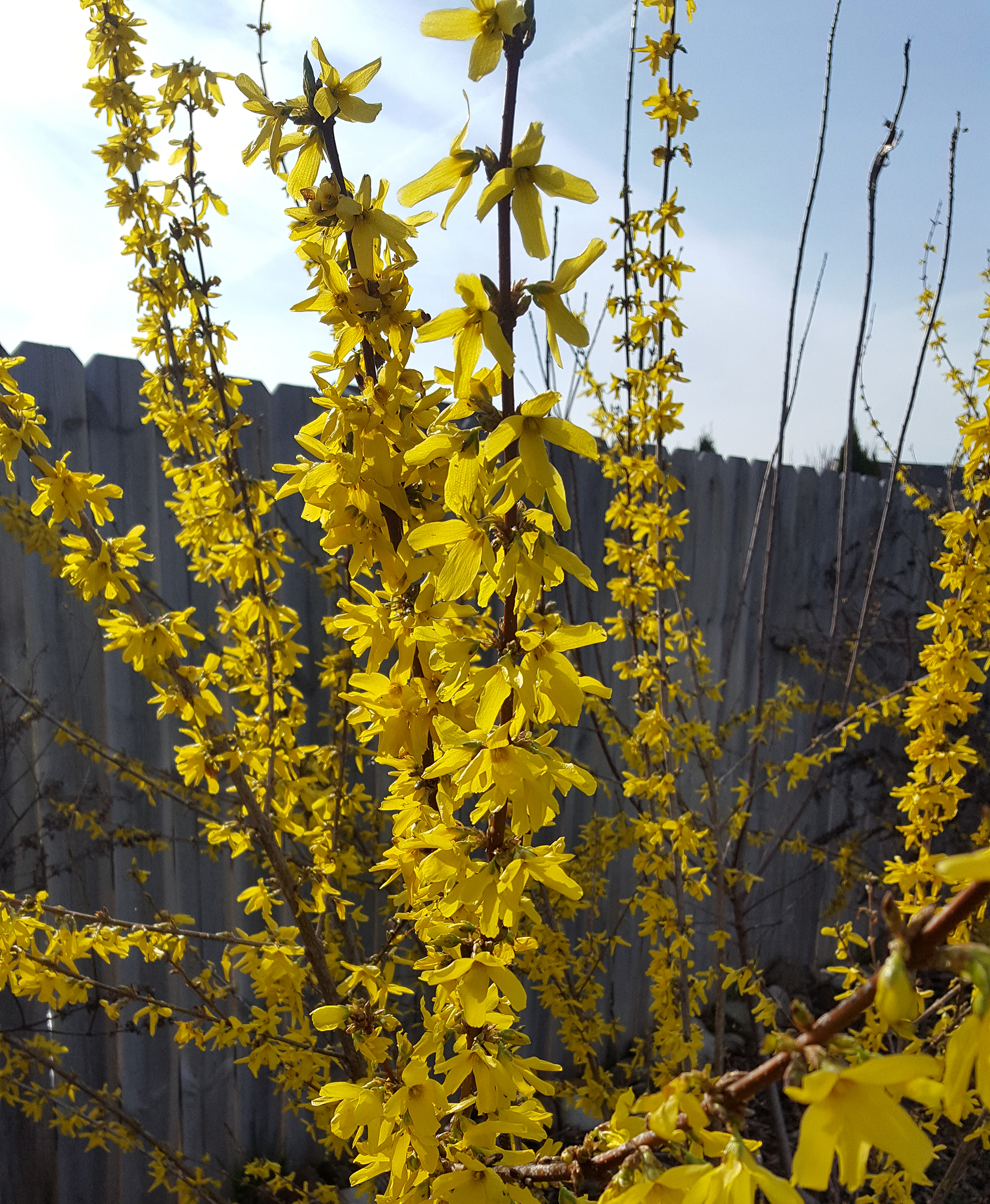 Yellow forsythia against a wooden fence and blue sky
