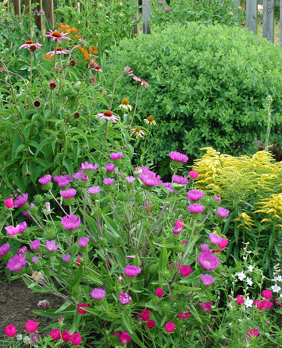 Assortment of pink and yellow perennials overflow in garden