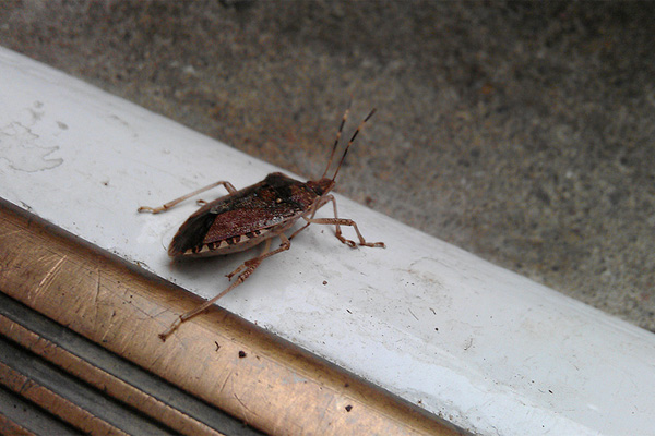 Stink Bug Invasion Its As Bad You Think